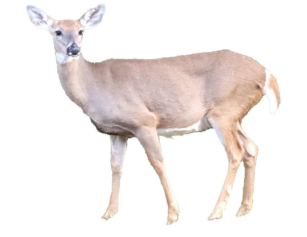 Christmas Card deer photo